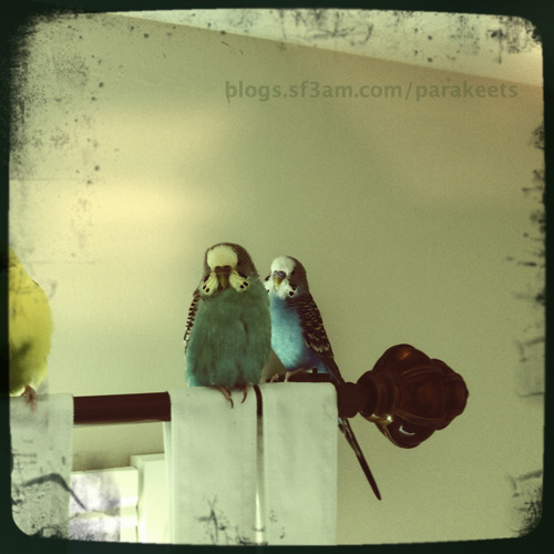 Belle and Dodger the parakeets