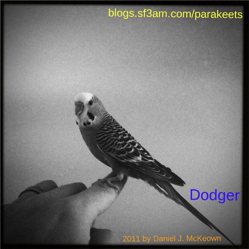 Dodger the parakeet